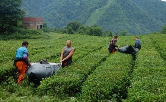 9 честно сказать я не люблю краснодарский чай